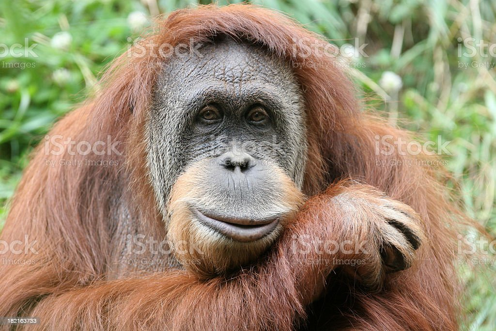 Photo portrait of a hairy orangutan, his head on his forearm stock photo