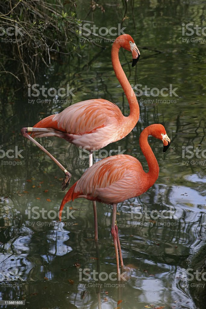 Photogenic Flamingos royalty-free stock photo