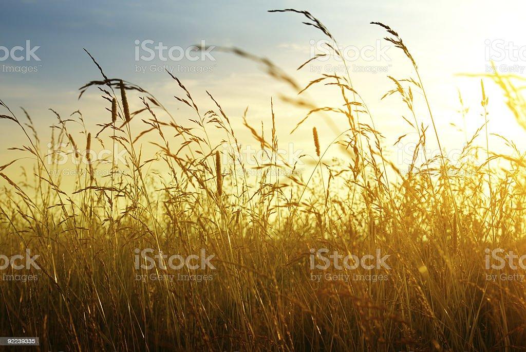 A photograph looking through tall grass towards the sunset stock photo