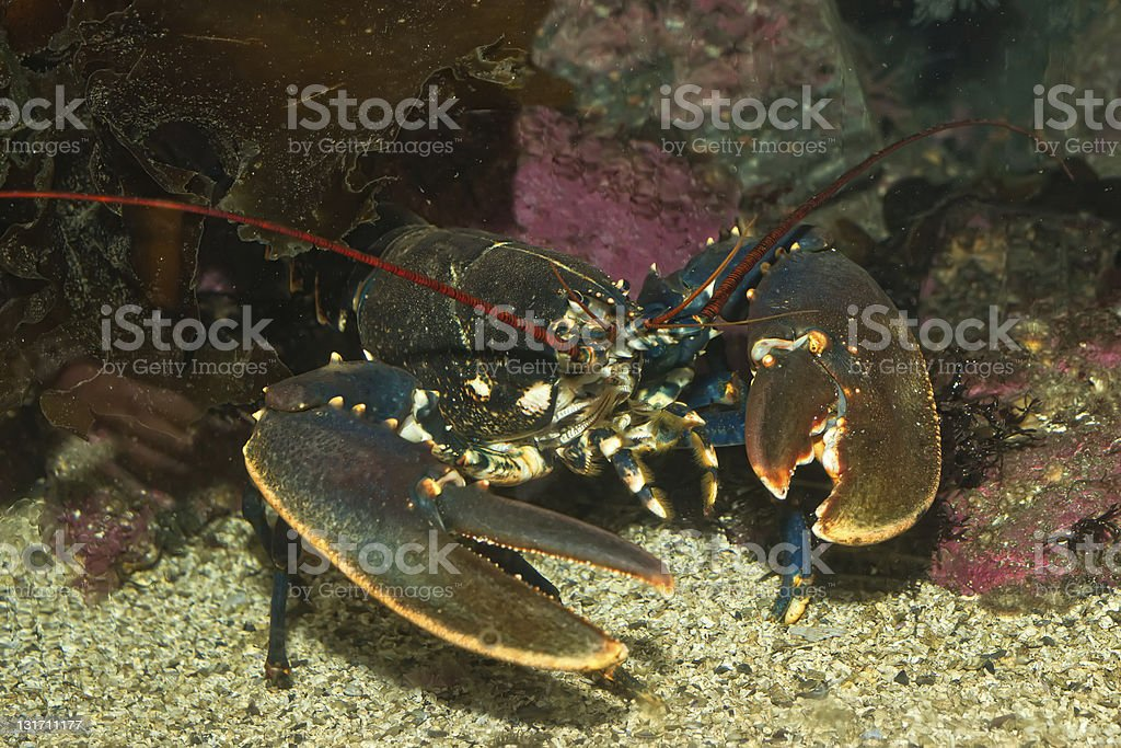Photograph of a lobster on the sea floor royalty-free stock photo