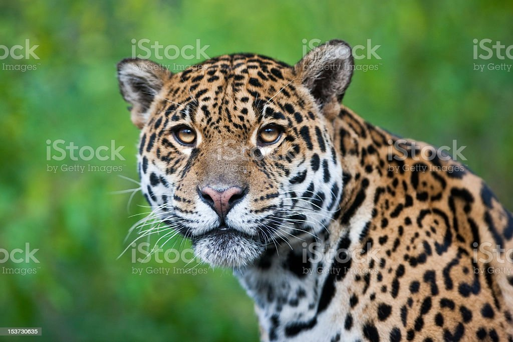 Photograph of a stunning Jaguar in the wild stock photo