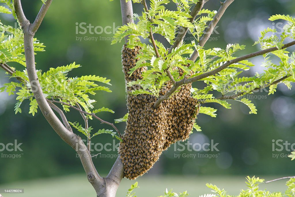 A photograph of a swarm of bees engulfing tree branches  royalty-free stock photo