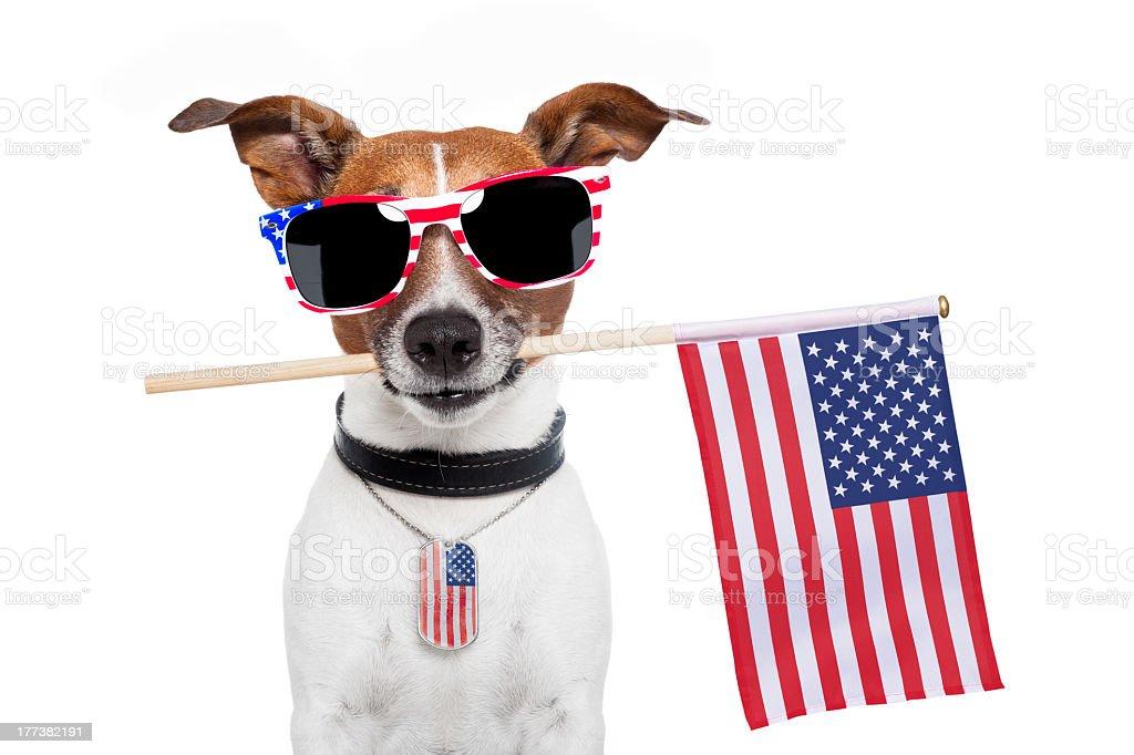 american dog with usa flag and shades