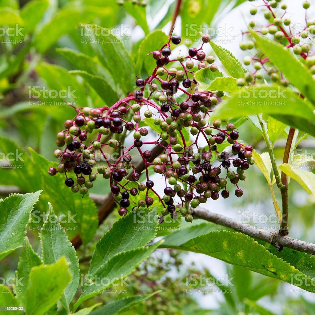Photograph of Elderflower Berries royalty-free stock photo