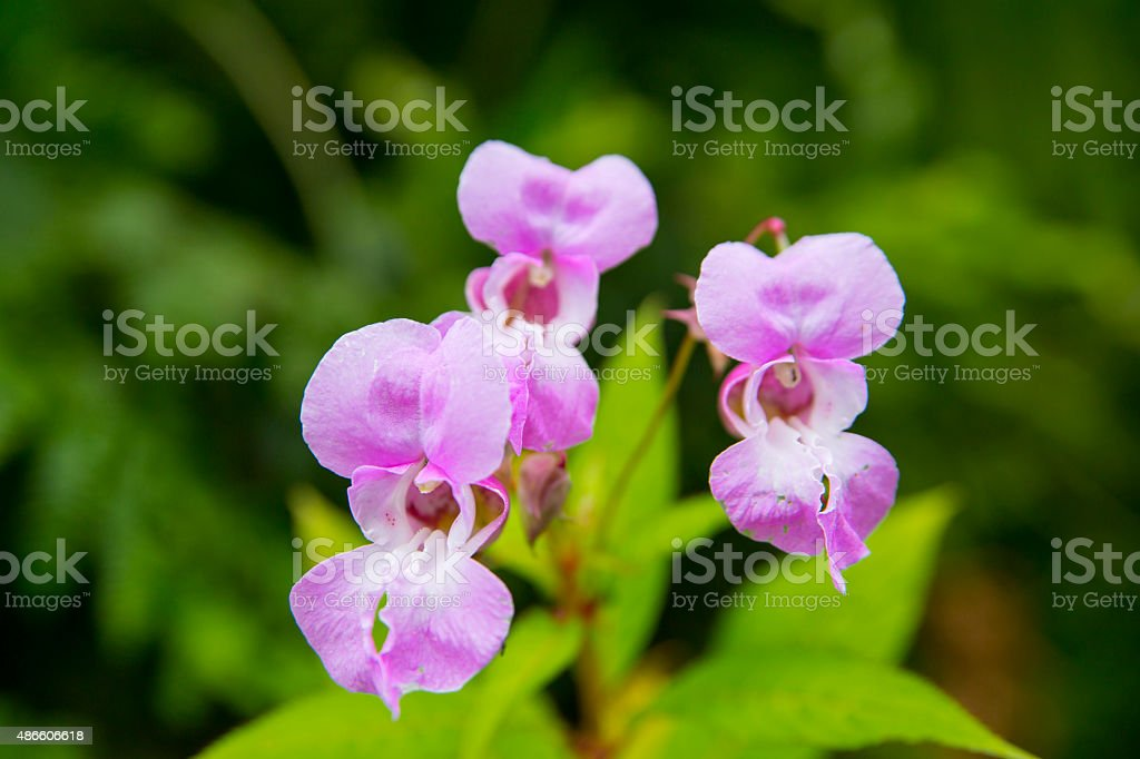 Photograph of Himalayan Balsam Flower. royalty-free stock photo