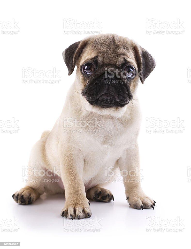 Photograph portrait of a sitting, sad-eyed pug puppy  stock photo