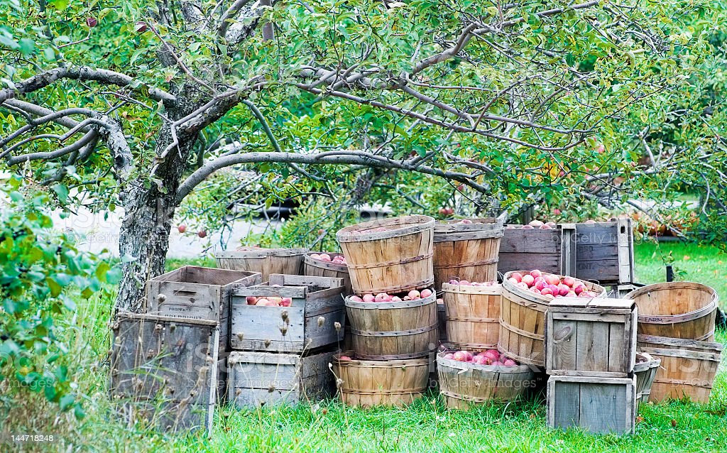 Photograph showing barrels and boxes during an apple harvest stock photo