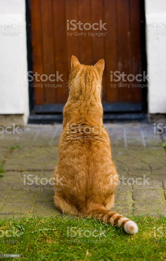 A photograph taken from the back of a ginger cat royalty-free stock photo