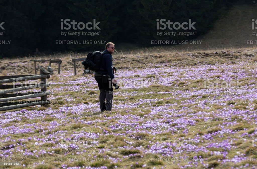 A photographer and a lot of crocuses  on the meadow. stock photo