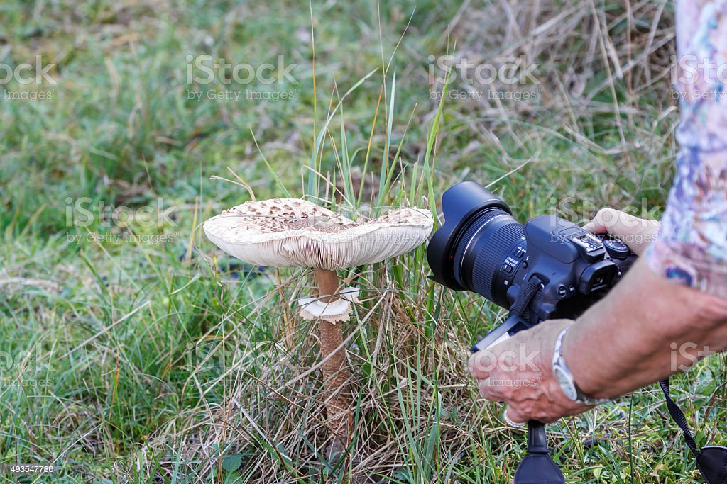 photographing a parasol mushroom stock photo