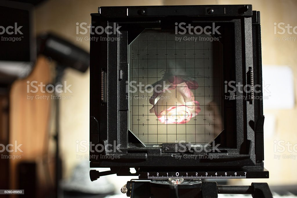 photographing a rose on large format cameras stock photo