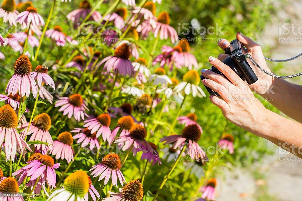 Photographing ehinacea purpurea stock photo