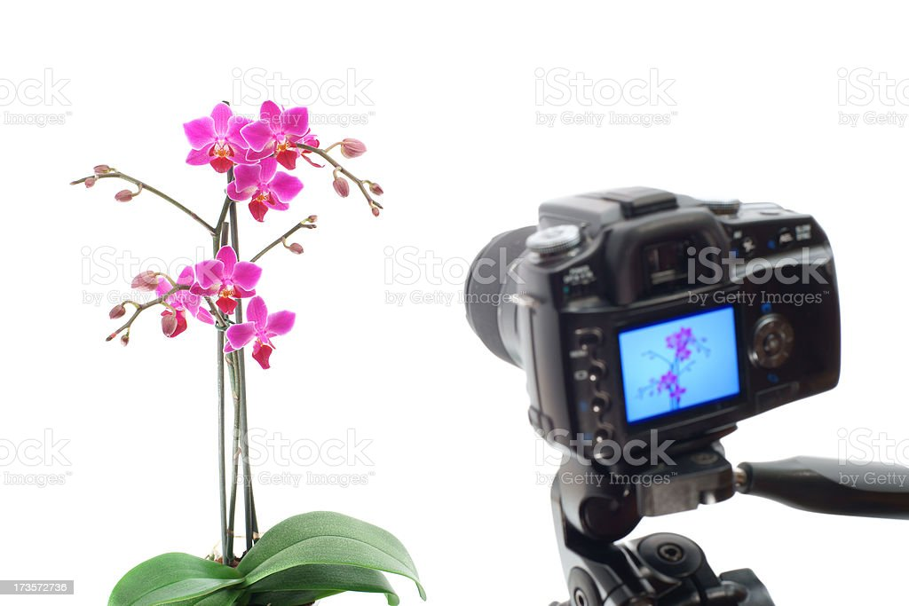 Photographing orchid in photo studio royalty-free stock photo