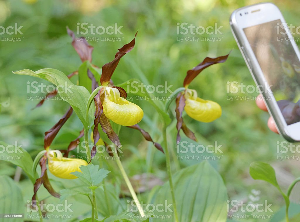 Photographing plants of yellow Lady's slippers orchids stock photo