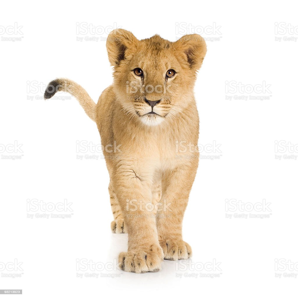 Photography of a lion cub of about six months stock photo