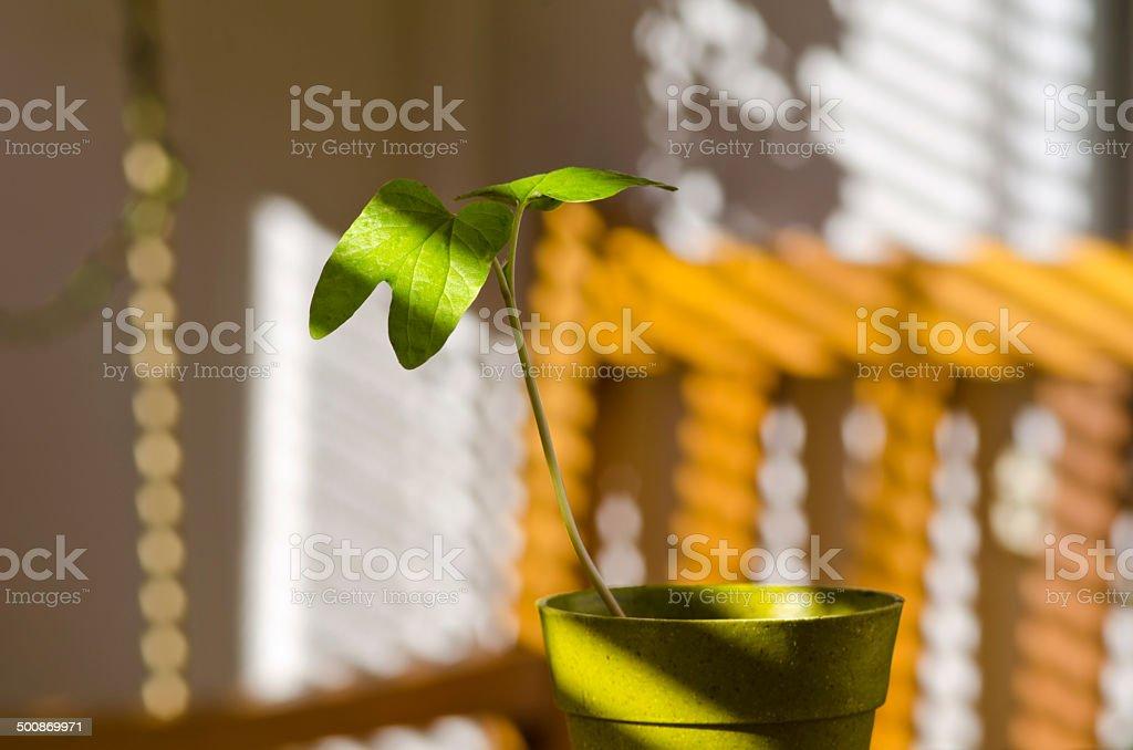 Phototropism. Plant growing towards sunlight. stock photo