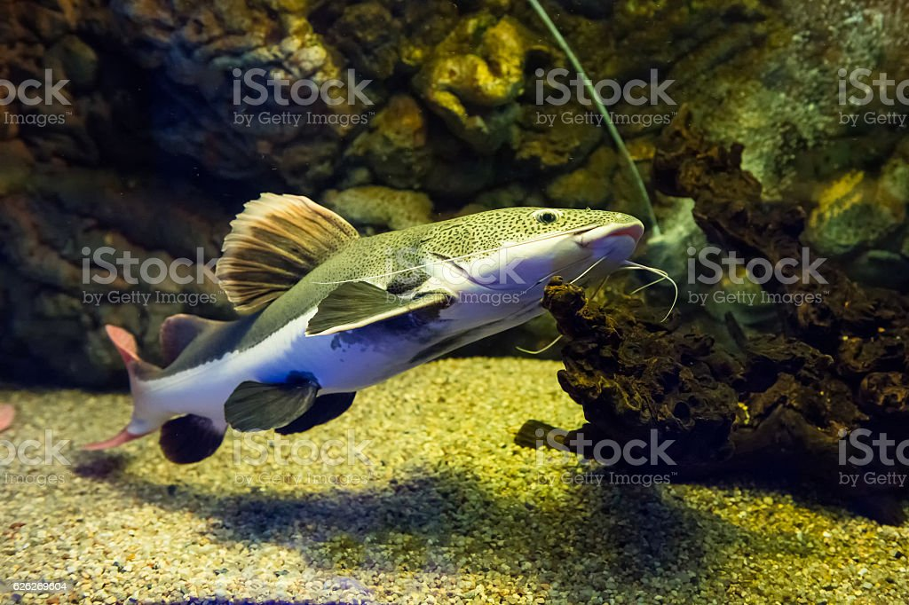 Phractocephalus hemioliopterus - redtail catfish stock photo