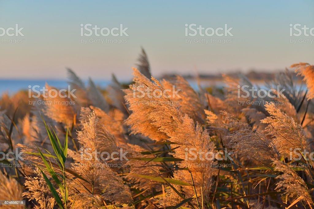Phragmites Bloom at Sunrise stock photo