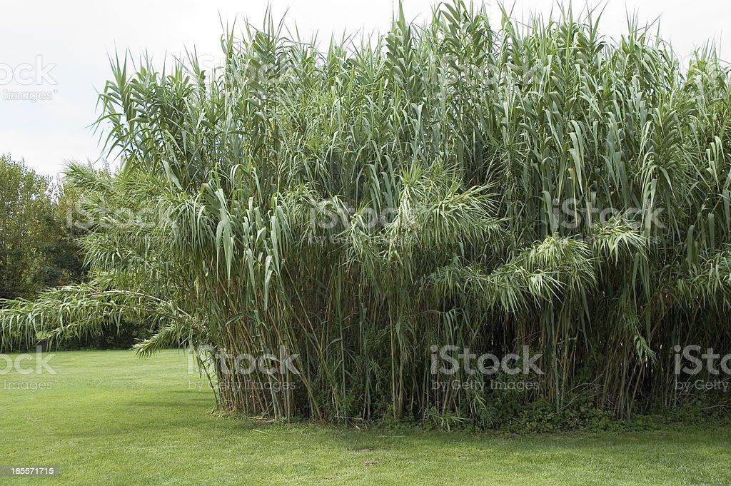 Phragmites Common Reed royalty-free stock photo