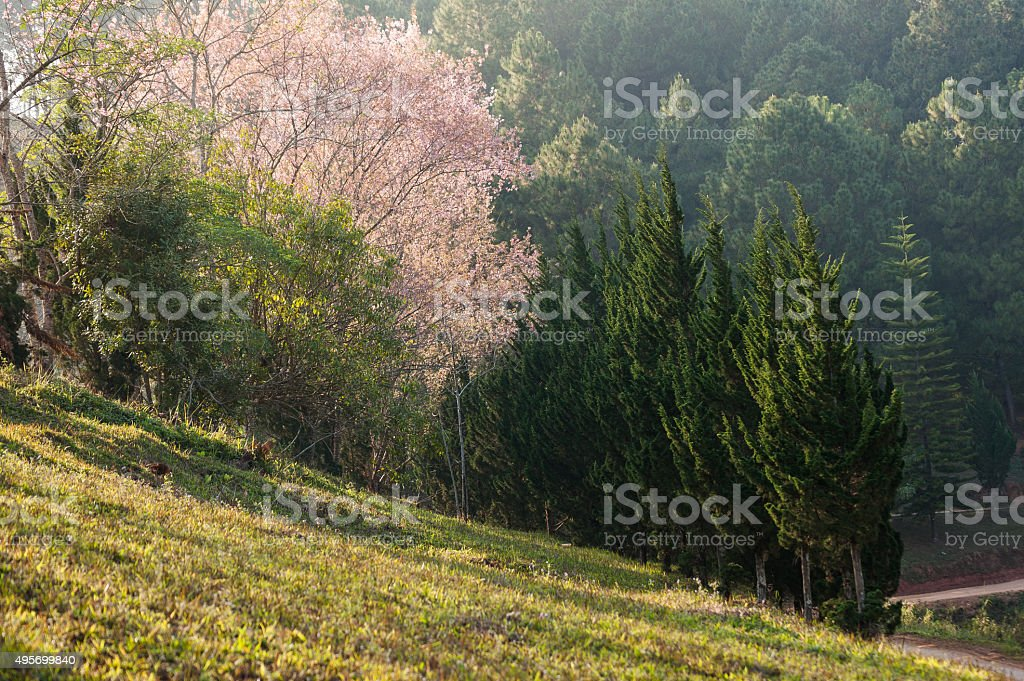 phu lom lo thai sakura cherry province loei ,thailand stock photo