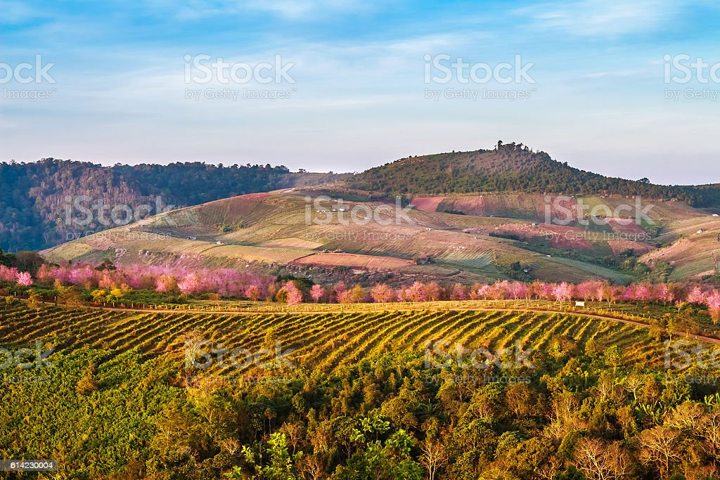 phu-lom-lo, terrain phu-lom-lo, a tourist attraction to visit Wild Himalayan Cherry. stock photo