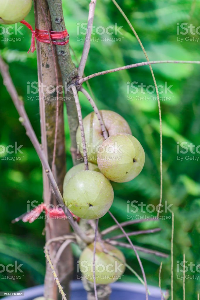 Phyllanthus emblica, also known as Emblica officinalis, the king of vitamin C fruits. stock photo
