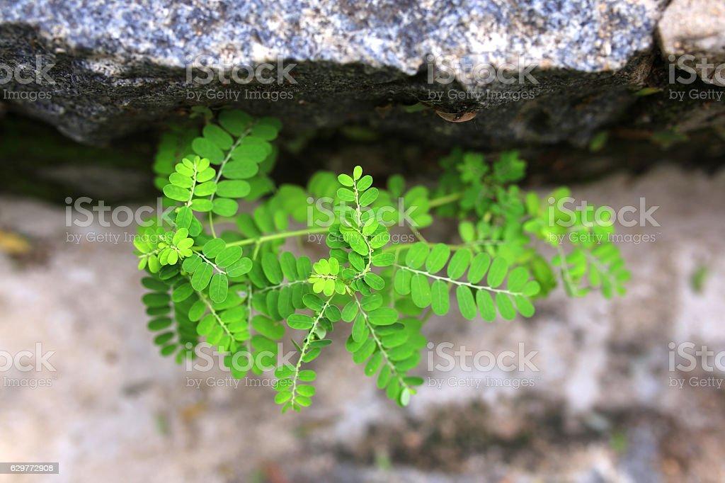 Phyllanthus urinaria stock photo