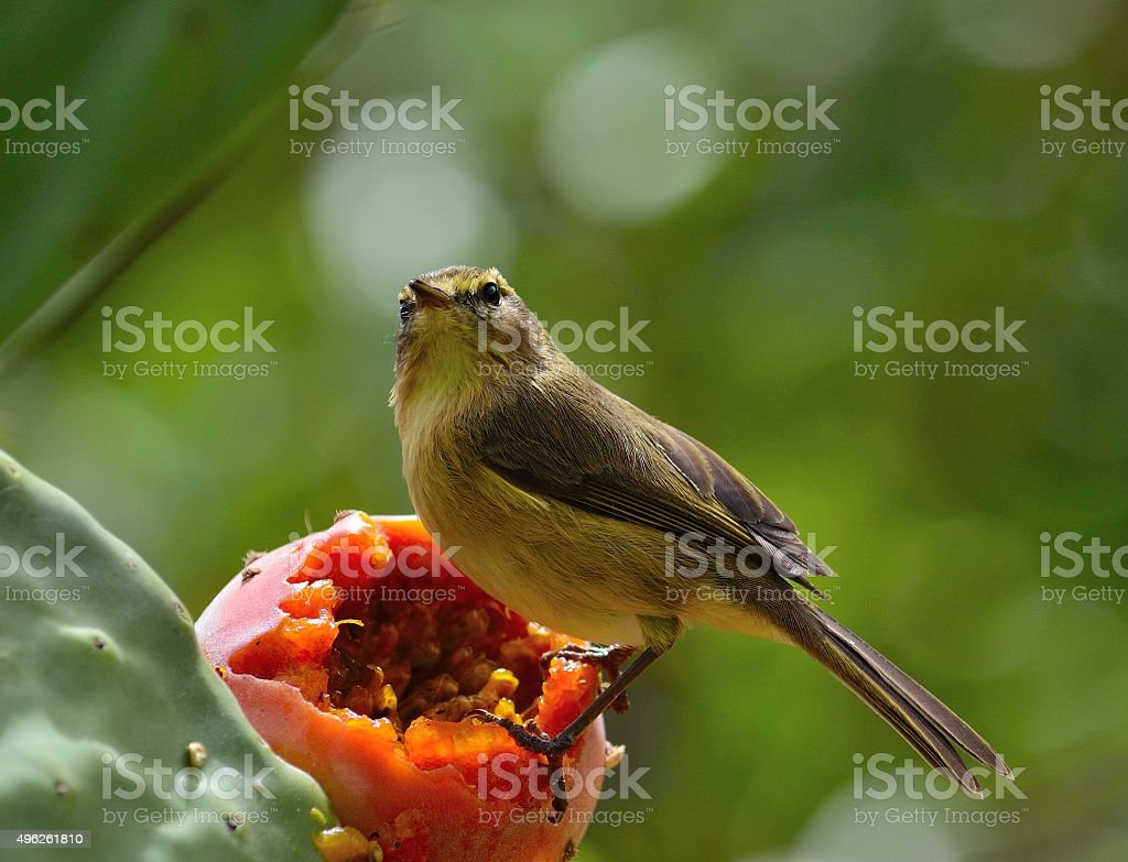 Phylloscopus canariensis on prickly pear stock photo