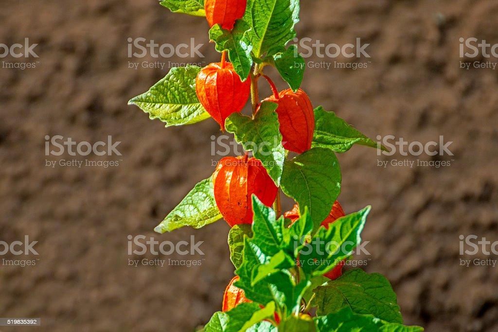 Physalis alkekengi, bladder cherry stock photo