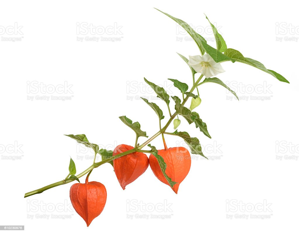 Physalis alkekengi branch stock photo