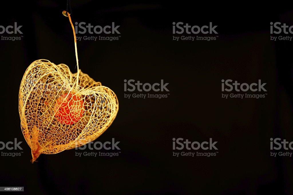 Physalis alkekengi - Chinese Lantern flower stock photo
