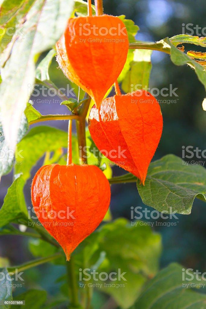 Physalis alkekengi  or Chinese lantern plants stock photo