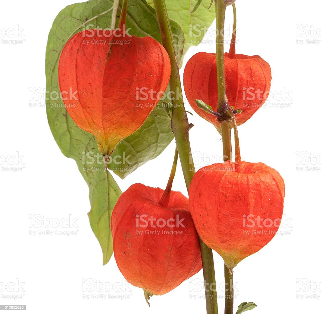 Physalis branch isolated on white background macro stock photo