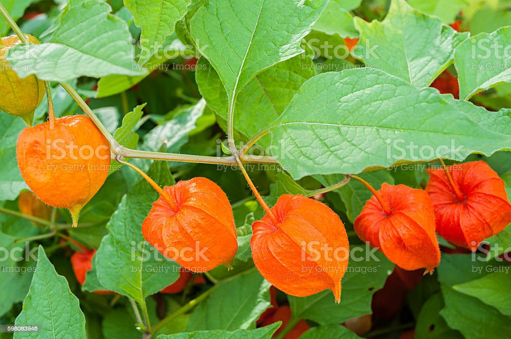 Physalis plants or Chinese Lantern Plants - in Latin Physalis stock photo