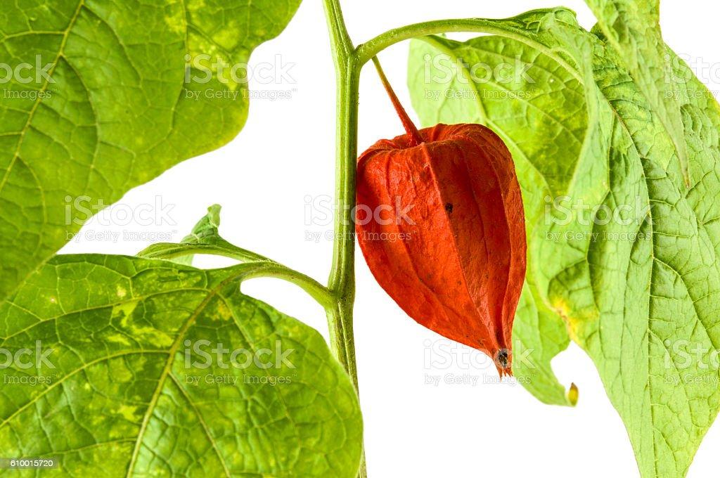 Physalis plants or Chinese Lantern Plants stock photo