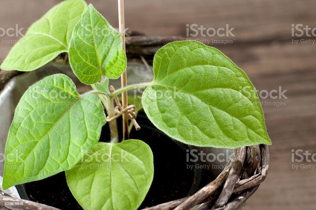 Physalis seedling stock photo