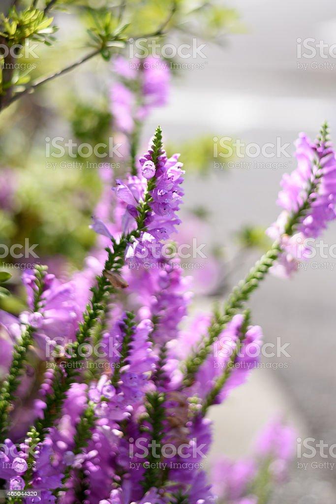 Physostegia virginiana stock photo