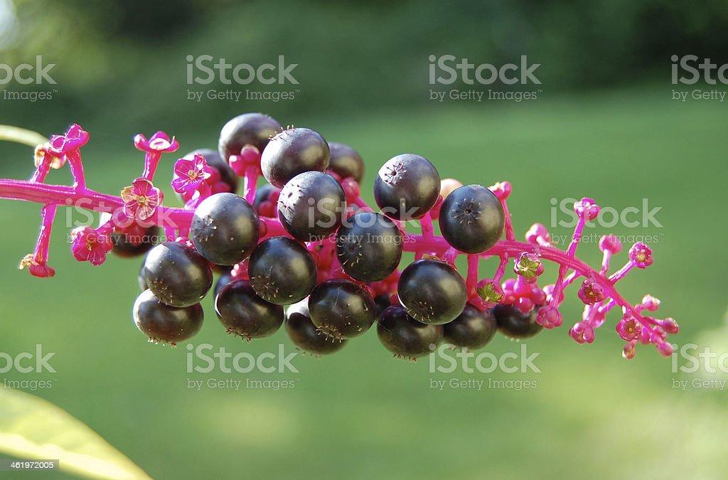 Phytolacca pokeweed berries stock photo