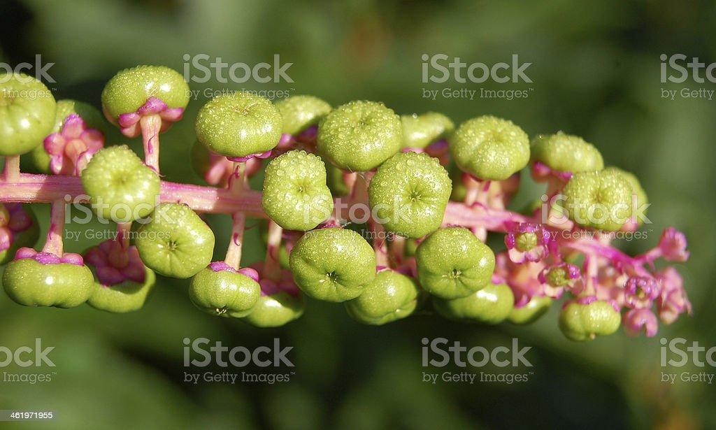 Phytolacca pokeweed stock photo