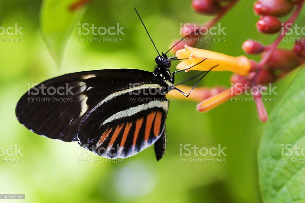 Piano Key Butterfly royalty-free stock photo