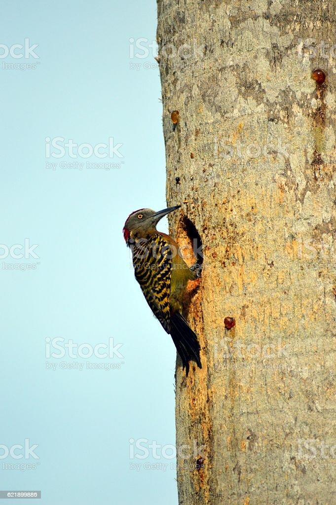 Pic of Hispaniola male stock photo
