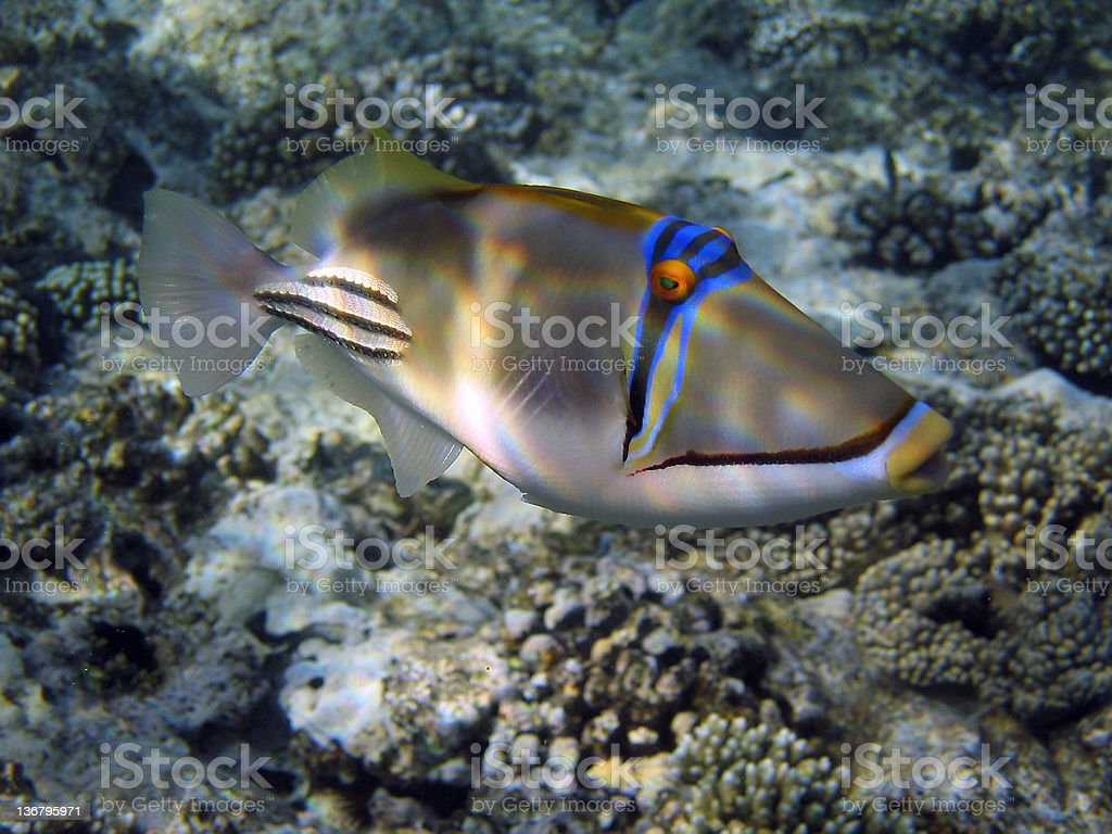 picasso trigger fish on reef top stock photo 136795971 istock