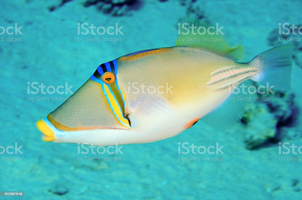 Picasso trigger fish stock photo