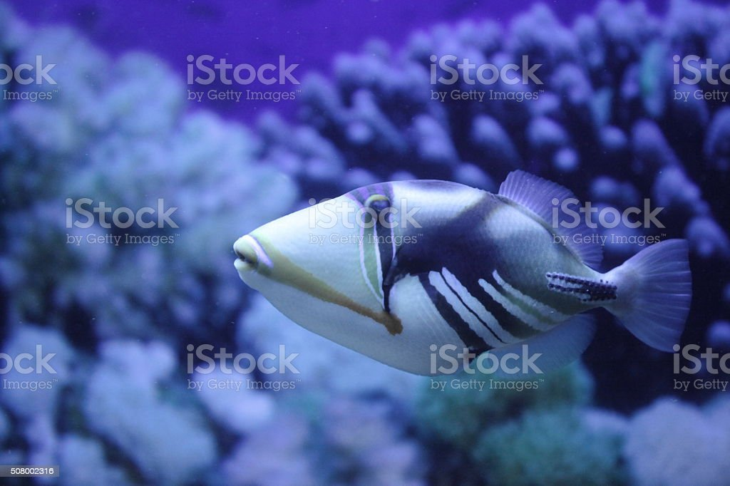 Picasso Triggerfish stock photo