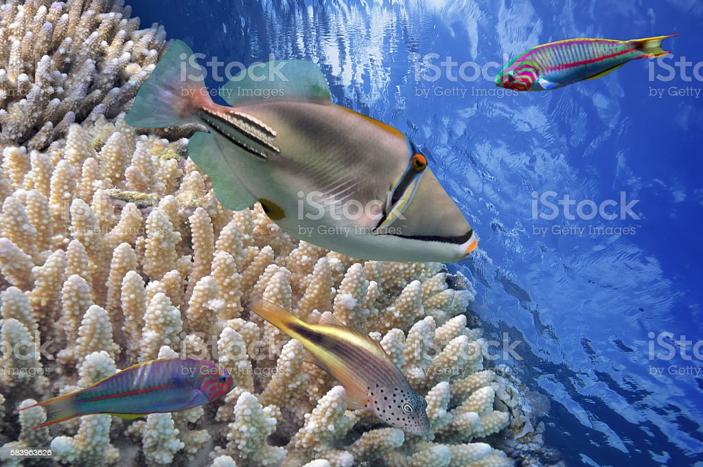 Picasso triggerfish {Rhinecanthus assasi} is aptly named, having stock photo