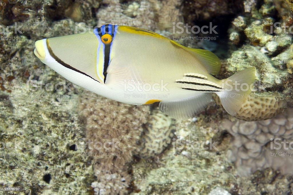 picassofish (rhinecanthus assasi) royalty-free stock photo