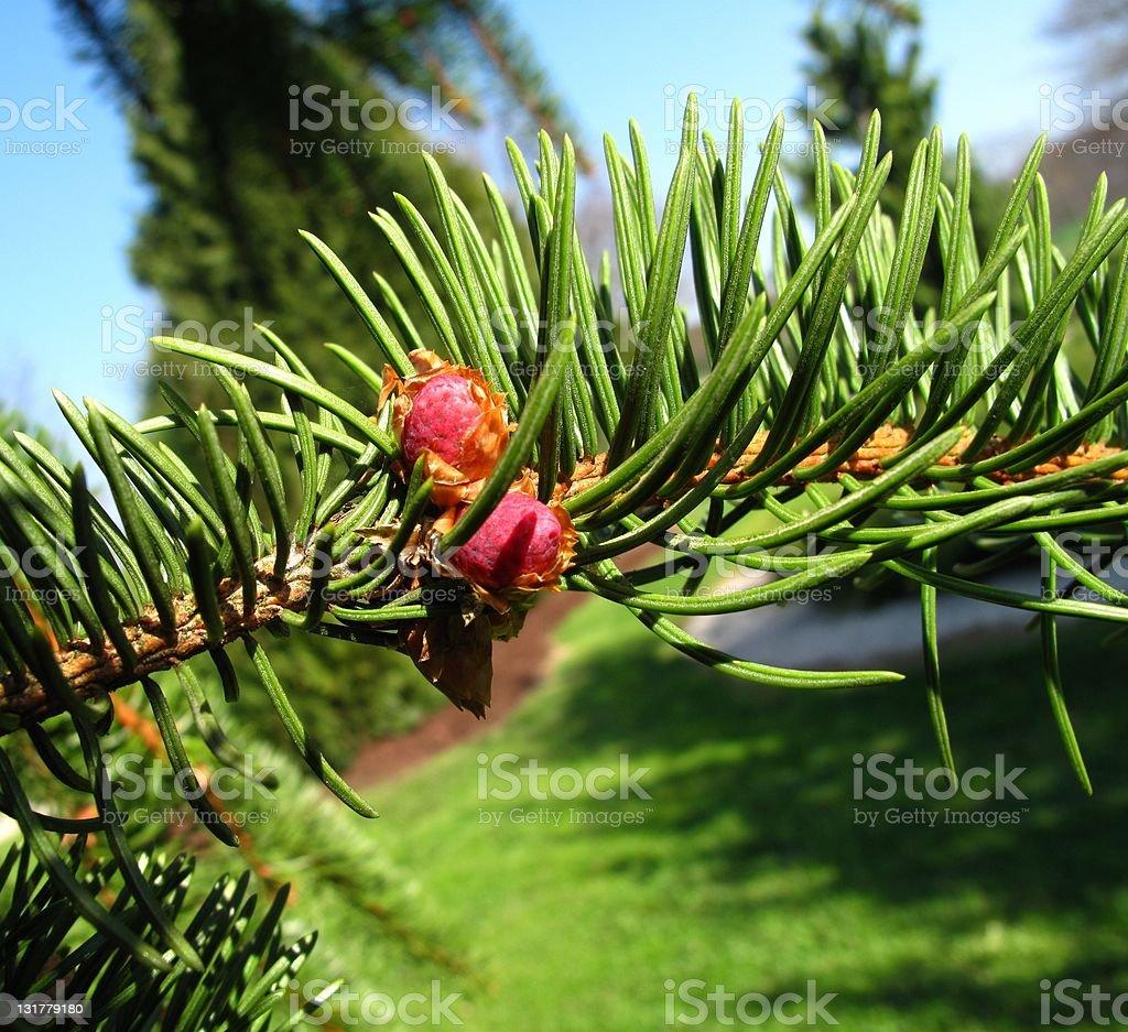 Picea abies 'Virgate' stock photo