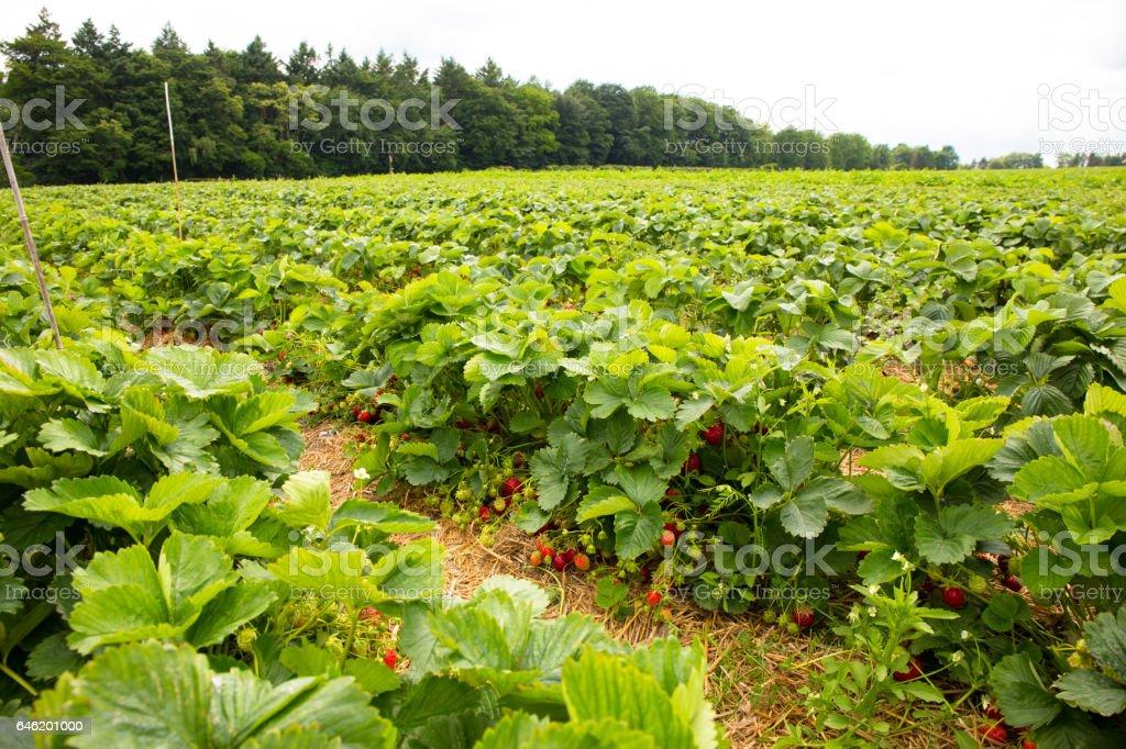 Pick strawberries themselves stock photo