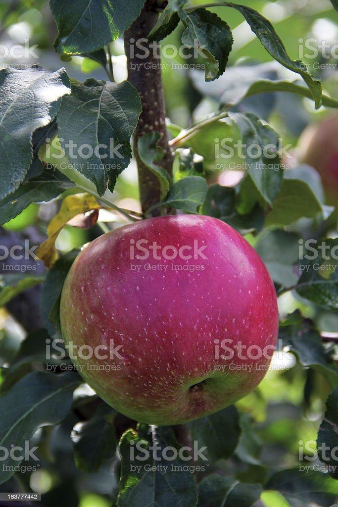 Pick This Apple stock photo