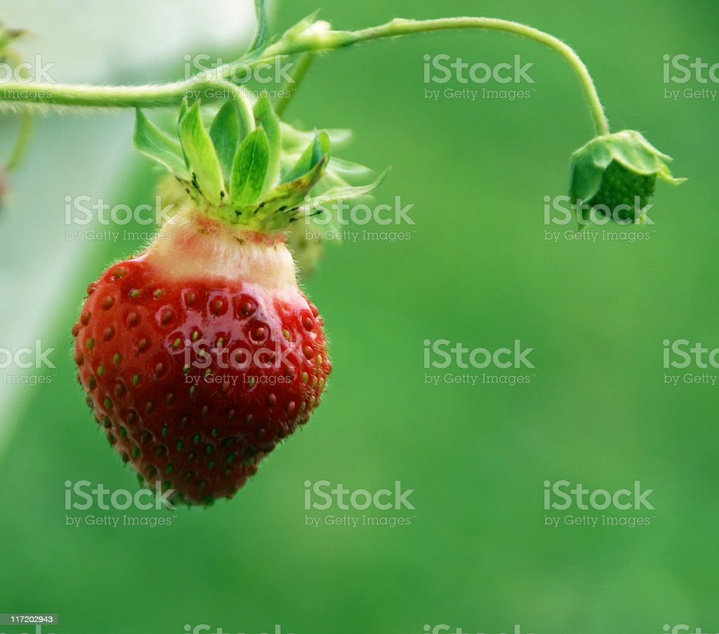 Pick this Strawberry royalty-free stock photo